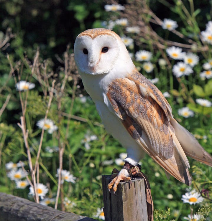barn owl avalon stone harbor
